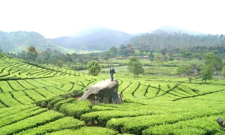 Gambar Kebun Teh Di Ciwidey Kesegaran Udara Di Perkebunan Teh Rancabali Bandung Tour Bandung