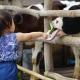 Memberi Makan Lactasari Mini Farm